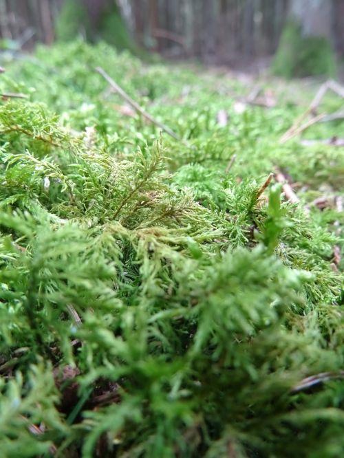 samanos,miškas,gamta,ruduo,bemoost