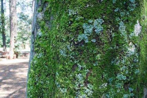 medis, bagažinė, Padorus, samanos, žalias, kerpės, pilka žalia, samanos ir kerpšligės ant medžio kamieno