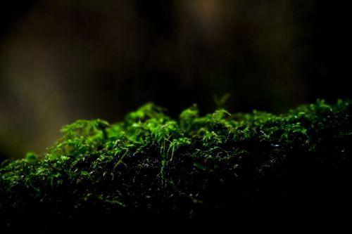 samanos, muiras & nbsp, miškai, žalias, medis, miškas, tamsi, Iš arti, samanos uždaryti ant žurnalo