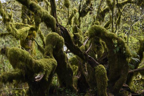 žalias, samanos, padengtos & nbsp, filialai, lapai, naujas & nbsp, augimas, neapibrėžtas & nbsp, samanos, miškas, tamsi & nbsp, peržiūra, gili & nbsp, miško & nbsp, medžiai, šlapias & nbsp, medžiai, samanos padengtos šakos