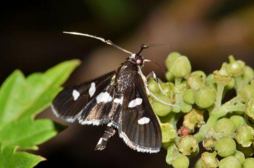 drugys,vynuogių lapų volelis,vabzdys,vabzdžiai,sparnai,sparnuotas,sparnuotas vabzdys,skraidantis vabzdys,antenos,naktinis,naktis,padaras,gyvūnas,biologija,entomologija,nariuotakojų,desmia