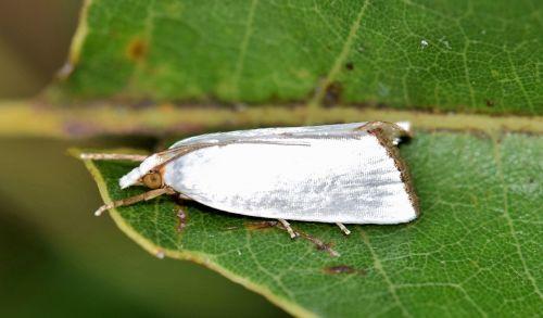 drugys,urola moth,snieguotas urolo melas,baltos spalvos,vabzdys,vabzdžiai,sparnai,sparnuotas,sparnuotas vabzdys,skraidantis vabzdys,antenos,lapai,padaras,gyvūnas,biologija,entomologija,nariuotakojų,urola nivalis