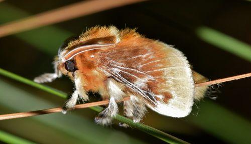 drugys,flanelinis melis,pietų flanelinis audinys,rudas melis,pūkuotukas,pūkuotas,plaukuotas,vabzdys,vabzdžiai,sparnai,sparnuotas,sparnuotas vabzdys,skraidantis vabzdys,antenos,pušies adatos,padaras,gyvūnas,biologija,entomologija,nariuotakojų,megalopyge opercularis