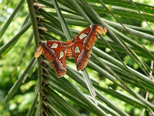 drugys,drugelis,atlas-spinner,didelis,didžiausias drugelis,vabzdys,skristi,egzotiškas,gamta,sparnas,spalva,didelis drugelis