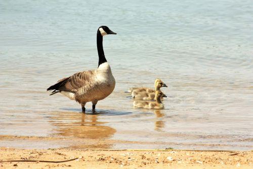 gamta, laukinė gamta, gyvūnai, paukščiai, žąsis, žąsys, gosling, kūdikis, motina, mama & nbsp, žąsis, Kanada & nbsp, žąsis, žiūrėti, maudytis, Krantas, vanduo, ežeras, papludimys, smėlis, motinos žąsys ir goslings