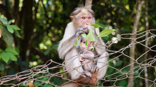 motinystė,beždžionių gyvenimas,gyvūnų vaikas,motina,gyvenimas,mažai,vaikas,kūdikis,laukiniai,gyvūnas,beždžionė,gamta,laukinė gamta,veidas,džiunglės,miškas,natūralus,šeima,zoologijos sodas,žalias,Moteris