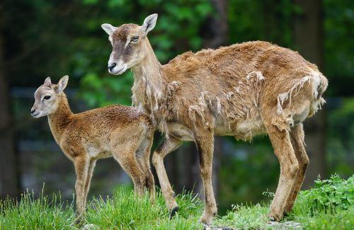 mufloras,veršelis,žinduolis,jaunas gyvūnas,laukinės gamtos fotografija,ovis musimon gmelini