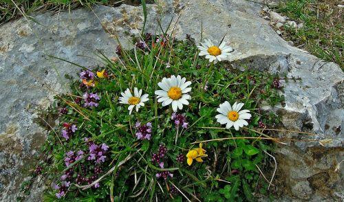 kalnas,augalas,gėlės,kompozitai,Daisy,mažai daisy,daugiametė daisy,m p,pavasario pranašys,vaistinis augalas,žiedas,žydėti,balta,kelyje,akmuo