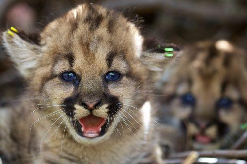 kalnų liūtys,kačiukai,pumas,Cougars,portretas,Iš arti,katės,žinduoliai,laukinė gamta,gamta,nelaisvėje,jaunas,kūdikiai,kūdikiai,cubs,plėšrūnai,pūkuotas,žiūri,veidas