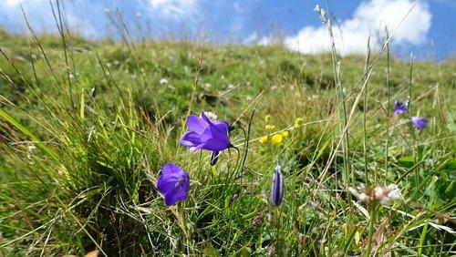 kalnų pieva, varpelis, pobūdį, vasara, žolės, gėlės, Alpine, Alm, kalnų vasara, gėlių varpeliai
