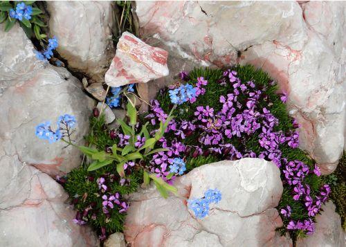 kalnai,gėlės,kalnų gėlės,pavasaris,gamta,Alpių,Alpių gėlė,žemės danga,pamiršti,akmenys,rožė,kalnų gėlė,Alpių flora,žiedas,žydėti,Alpių augalas