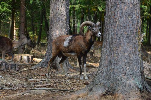 mufloras,Patinas,kampai,antlers,gyvūnas,miškas,vaizdas,gamta,ovis musimon