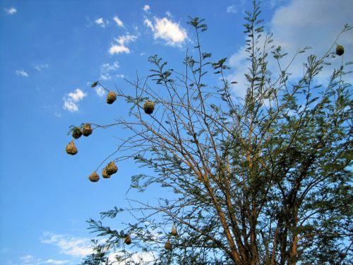 medis, paukščių, lizdai, audėjų, austi, sausas, kelios audinio lizdai