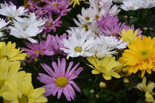mums,gėlės,spalvos,geltona balta violetinė,gėlės gėlės,gamta,toussaint,botanika,gėlės krinta,žydėjimas,žiedlapiai,augalas,kritimas,geltonos gėlės,geltonos chrizantemos