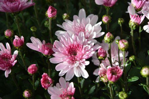 mums,gėlės,spalvos,geltona balta violetinė,gėlės gėlės,gamta,toussaint,botanika,gėlės krinta,žydėjimas,žiedlapiai,augalas,kritimas,geltonos gėlės,chrizantemos rožės balta