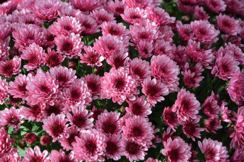 mums,gėlės,spalvos,rožinė violetinė,gėlės gėlės,gamta,toussaint,botanika,gėlės krinta,žydėjimas,žiedlapiai,augalas,kritimas,geltonos gėlės,chrizantemos ryškiai rausvos spalvos