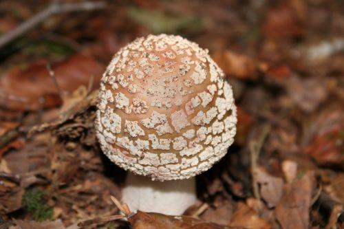 grybai,miško grybai,laukiniai grybai,perlpilz,diskinis grybas,valgomieji,miškas,lapai,vasaros grybai,rudeniniai grybai,miško paklotė