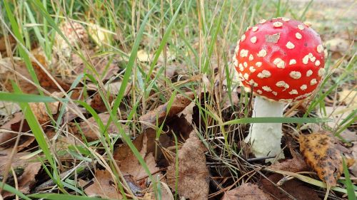 grybai,skristi agaro,gamta,ruduo,nuodai,toksiškas,raudona,lapija,Hainiko,Vermont,suomių,hyvinkaa,finland