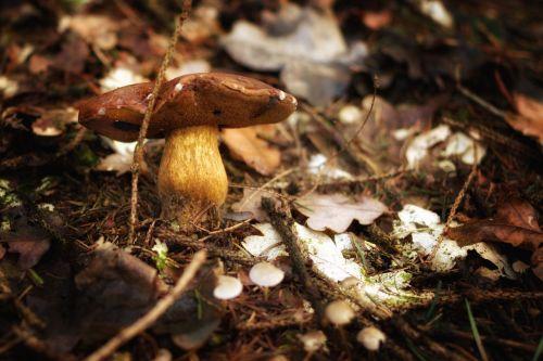 grybai,miškas,ruduo,gamta,grybų rinkimas,rudens pradžia,rudens spalvos,rudens saulė,lapai,rudens miškas,kritimo lapija,rudens nuotaika,miško paklotė,spalvinga,auksinis spalio mėn .,kritimo spalva,samanos,drėgnas