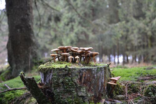 grybai,miško grybai,miško paklotė,ruduo,medis,grybai,medžių grybai,grybų grupė,grybai ant medžio