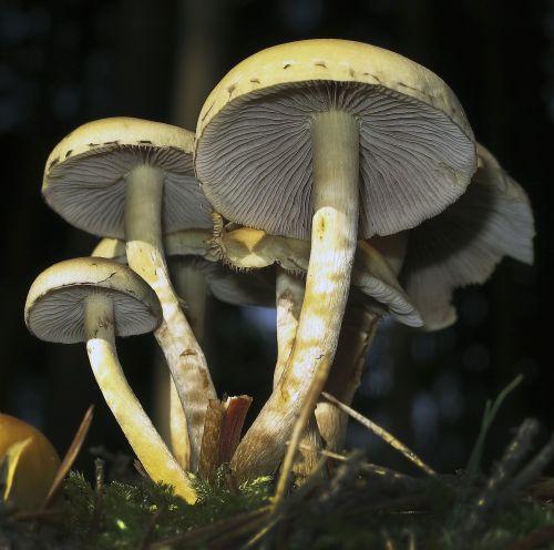grybai,lamellar,grybų grupė,diskinis grybas,miško paklotė,apačioje,Uždaryti,miško augalas,miško grybai,ekrano grybelis,miškas,ruduo,augalas,grybai