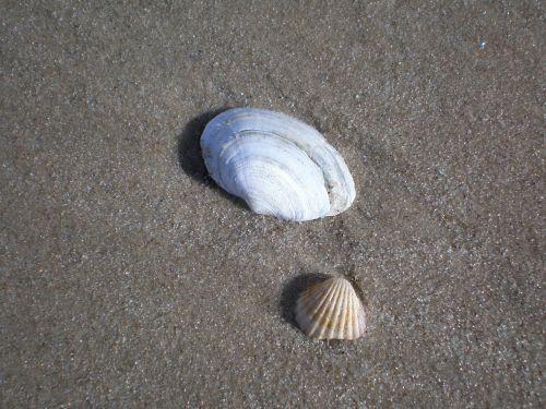 midijos,Baltijos jūra,jūros gyvūnai,smėlio paplūdimys papludimys,gamta