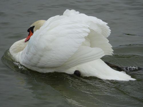 nutildyti gulbė,gulbė,gulbė plaukimas,cob,riverside,vandentiekis,kanalas,vandens keliai,paukštis,didelis paukštis,paukščių rūšys,balta paukštis,plaukimo paukštis,pasirodyti paukštis