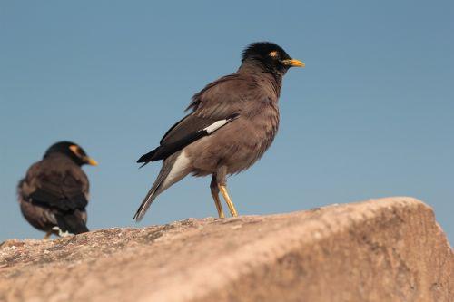 myna,paukštis,geltonas snapas,pora,visada kartu,gamta,snapas,geltona
