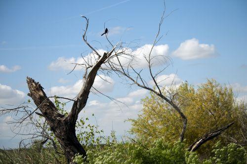 paukštis, paukščiai, laukinė gamta, juoda & nbsp, paukštis, siluetas, mina, myna & nbsp, paukštis, medis, medis & nbsp, pienas, kaimas, kaimiškas, filialas, Laisvas, viešasis & nbsp, domenas, Mynah paukštis