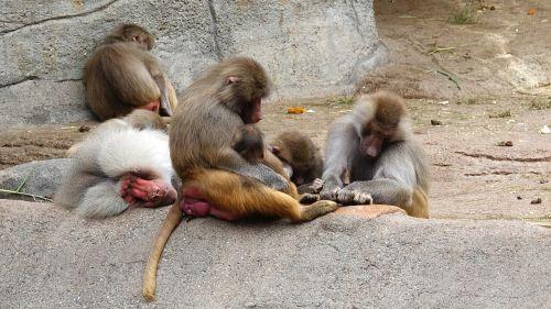 nap,ape,zoologijos sodas,babuinai,hagenbeck hamburg