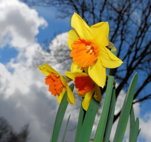narcizas, žiedas, žydėti, geltona, daffodil, pavasaris, gėlė, augalas, Narcissus pseudonarcissus, amarilio augalas, amaryllidaceae, ostergloeckchen, gėlės, spalvinga, gražus, Velykos