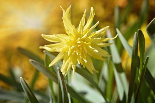 narcizas, gėlė, žiedas, žydėti, geltona, geltona gėlė, pavasario gėlė, pavasaris, sodas, gamta, šviesos spindulys, saulės spindulys, saulės šviesa, Uždaryti