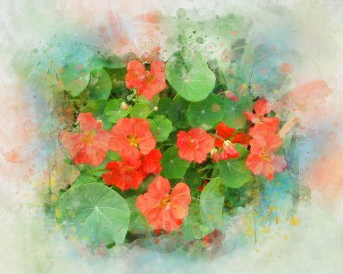 nasturtium,gėlė,akvarelė,vasara,augalas,oranžinė,geliu lova,žalias,lapai,botanika,mielas,graži gėlė,vasaros gėlės,sodo gėlė,gamta,žydėti,oranžinė gėlė,sodas,Iš arti,flora