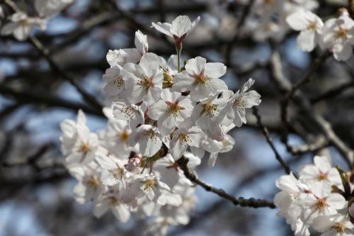 natūralus,kraštovaizdis,medis,mediena,gėlės,vyšnia,Sakura,vyšnių žiedų,Japonija,japonų vyšnių žiedai,vyšnių žiedų peržiūra,Hana Yori Dango,sezoninis,pavasaris