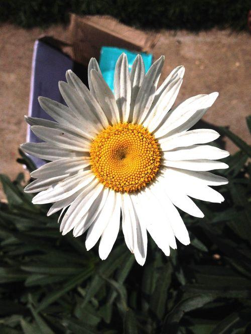 natūralus,gėlė,žydi,botanika