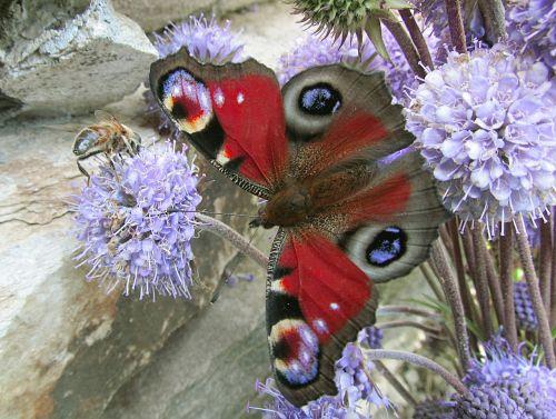 gamta,drugeliai,aglais io