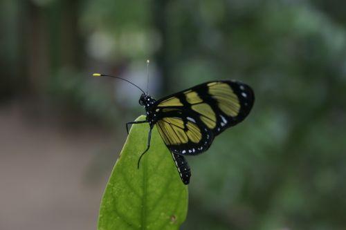 drugelis,vabzdžiai,sparnai,gamta,žalias,gyvenimas,drugelio sparnai