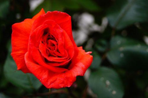 gamta,gėlė,rožinis,raudona,širdis,rožių krūmas,žiedlapiai,raudonos gėlės,Raudona roze,raudona gėlė,sodas