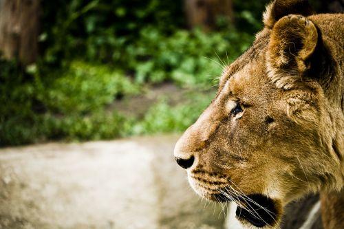 leo,zoologijos sodas,gamta,kačių,kūdikiai,plaukai,gyvūnų pasaulis,uodega,močiutė,zoologijos sodai,snukis,ramybė,afrika,italy,kojos,parconatura,safari,gyvūnas
