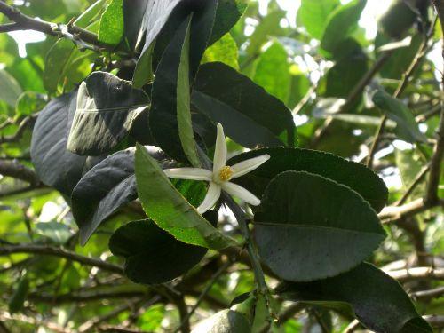 gamta,citrina gėlė,natūralus,citrina,gėlė,lapai,žalias