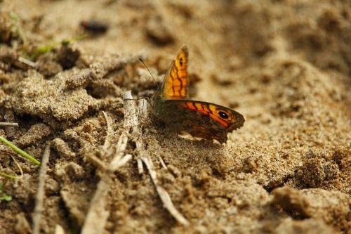 gamta,vabzdys,drugelis,sparnas,vasara,balta,grožis,monarchas,makro,natūralus,skraidantis,trapumas,migruojantis,laisvė,atogrąžų,migrantas,skristi,sodas,klaida,gyvūnas,botanikos,atviras,fauna,spalva,gėlių,gėlė,žiedlapiai,pavasaris,biologija,atviri sparnai,šiaurės amerikiečių drugeliai,drugelio sparnai,izoliuota drugelis,monarcho drugelis,monarcho drugelis