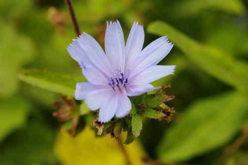 cikorija,gamta,šviežias,gražus,sodas,žiedas,gėlių atvirukas,pavasaris,spalvinga,valentine,pievos gėlė,gėlių vaizdas,gėlių gamta,gėlių vaizdas,gėlių arti Iš arti,gėlių rasos,gėlių laukas,natūralus,gėlių pieva,gėlių,pavasario gėlė,žydėti,žiedlapių gėlė,fonas,žiedlapis,lapai,vasara,gėlė,šviežia gėlė,violetinė,aromatas