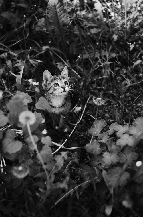 gamta,katė,gyvūnas,mielas,vidaus,portretas,jaunas,kačiukas,kačių,mažas,natūralus,žinduolis,laimingas,žalias,žolė,kačiukas,vasara,akys,žaisti,Draugystė,mažai
