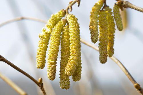 gamta,lazdyno riešutas,lazdyno gėlė,pavasaris,Uždaryti,lazdynas