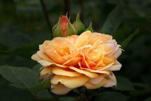 gamta,gėlės,sodo rožės,rožės,anglų rozės,austin rožės