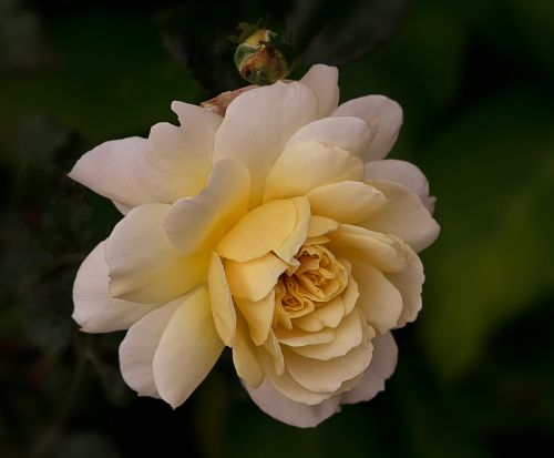 gamta,gėlės,rožės,anglų rozės,austin-rožės,mano sode rožės
