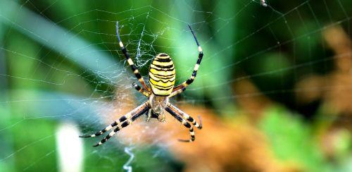 gamta,gyvūnas,vabzdys,voras,isp spider,makro,Uždaryti,detalės,dryžuotas,voratinklis,natūralus,gyventi,priešiški,baimė,nerimas,didelis,atrodo,atrodo pavojinga,gyvūnų pasaulis,maži gyvūnai,nuskaityti