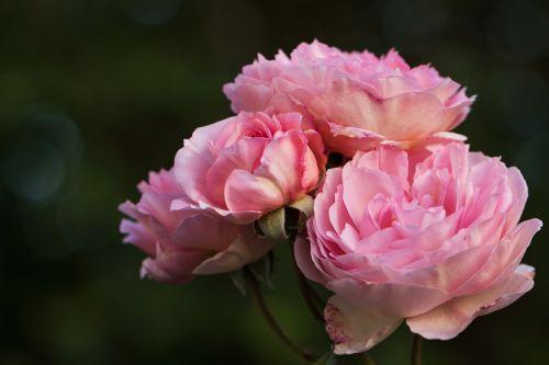 gamta,gėlės,rožės,anglų rozės,mano sode rožės,rosaceae,rožių šeimos,austin rožės