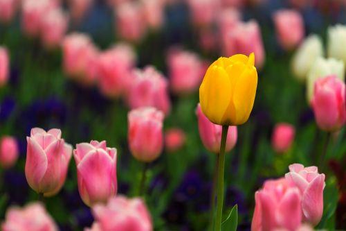 gamta,gėlė,fonas,darbalaukio fonas,geltona gėlė,pavasaris,rožinė gėlė,flora,tulpės,augalas,graži gėlė