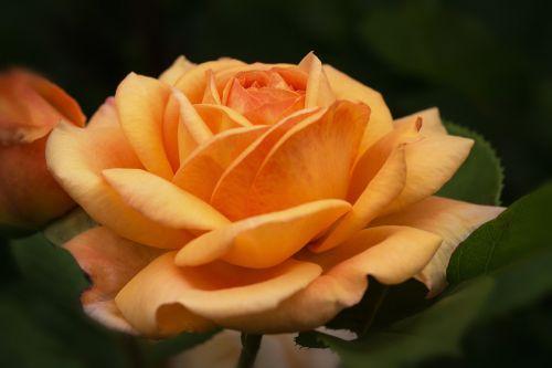 gamta,gėlės,rožės,anglų rozės,austin rožės,rosaceae,rožių šeimos,mano sode rožės